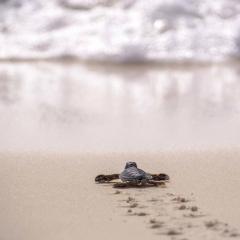 Meeresschildkröte © Maria Weber