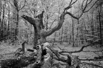 Darßwald © Holger Rüdel