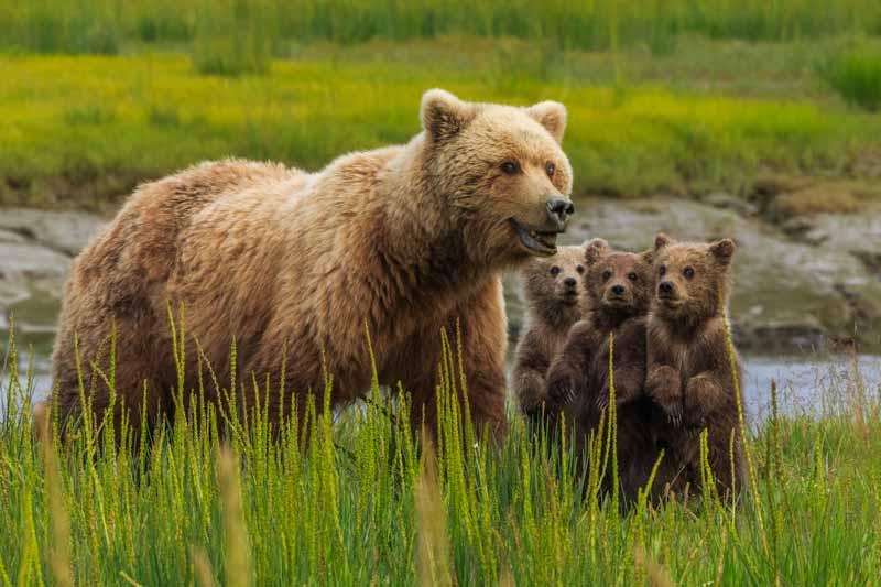 Art Wolfe – Braunbärin mit Jungen