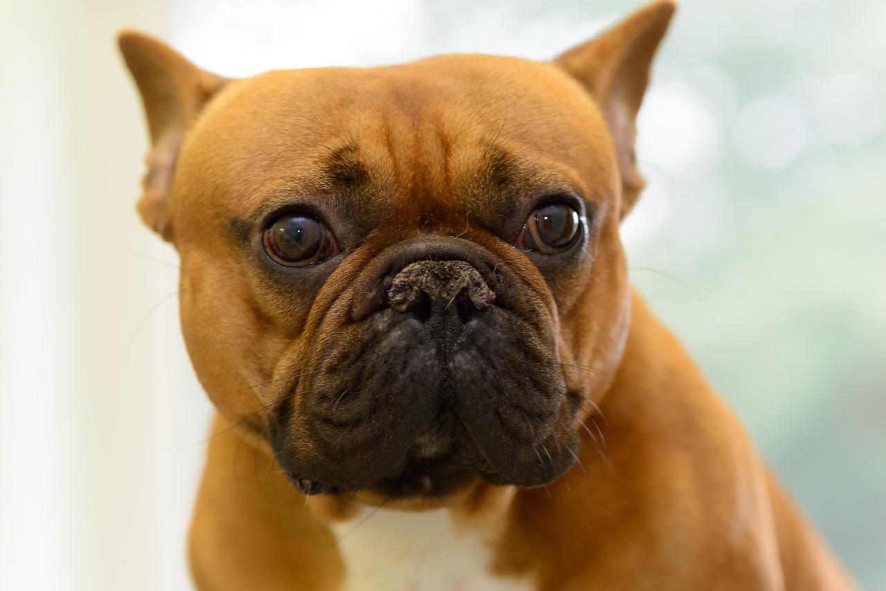 """Die Französische Bulldogge """"Spike"""" in der Tierarztpraxis Dr. Friedrich Röcken, Schleswig © Holger Rüdel"""