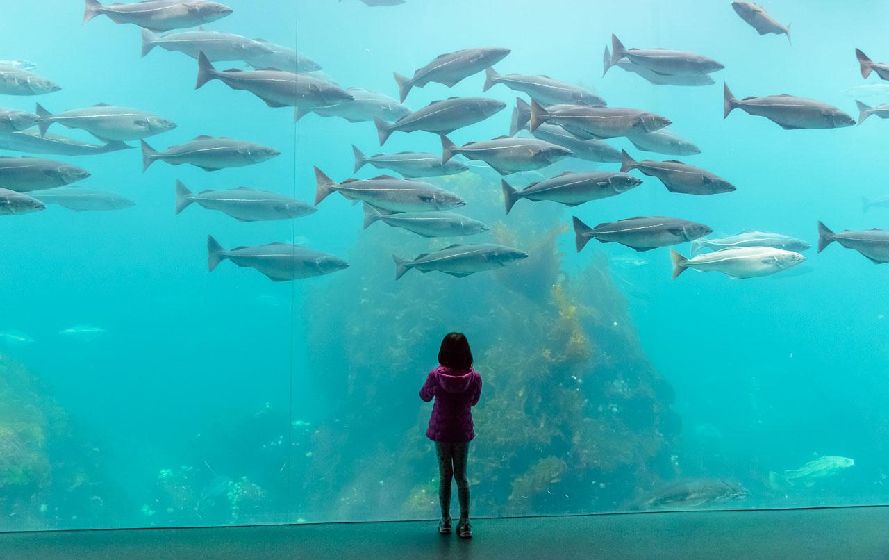 Der Atlantikpark, westlich der norwegischen Stadt Ålesund gelegen, ist eines der größten Salzwasser-Aquarien Nordeuropas. Die Meeresfische in den Becken beeindrucken vor allem Kinder wie dieses kleine Mädchen. © Holger Rüdel
